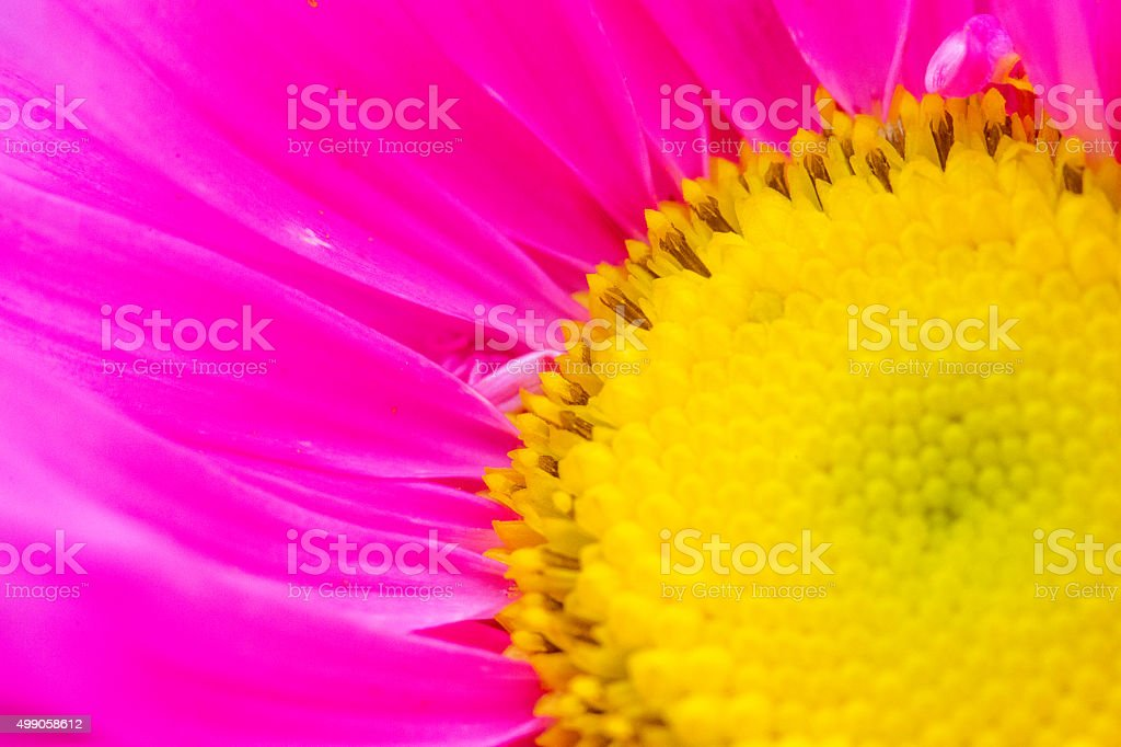 Pink daisy background stock photo