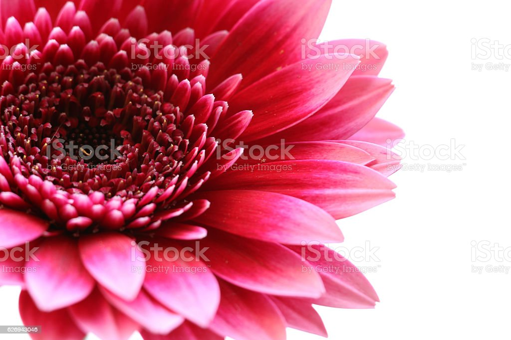 pink daisy flower isolated #2 stock photo