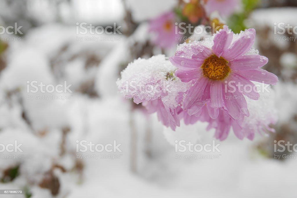 Pink daisy flowers in a winter garden covered with snow stock photo