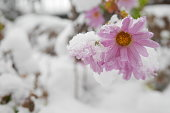 Pink daisy flowers in a winter garden covered with snow