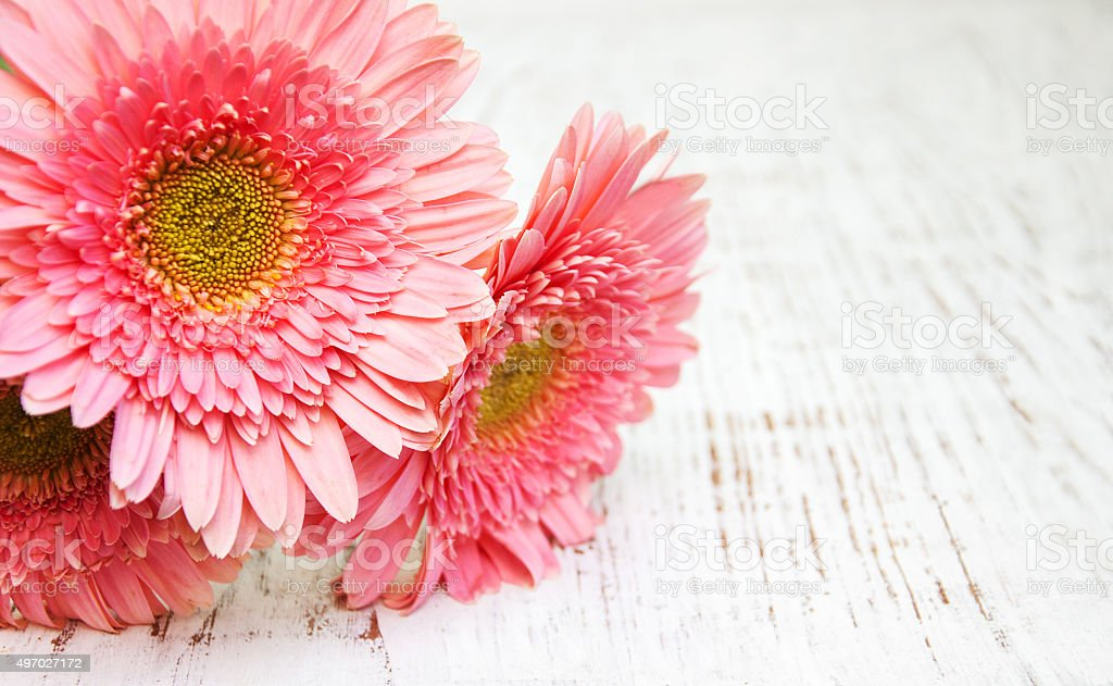 pink daisy gerbera flowers stock photo