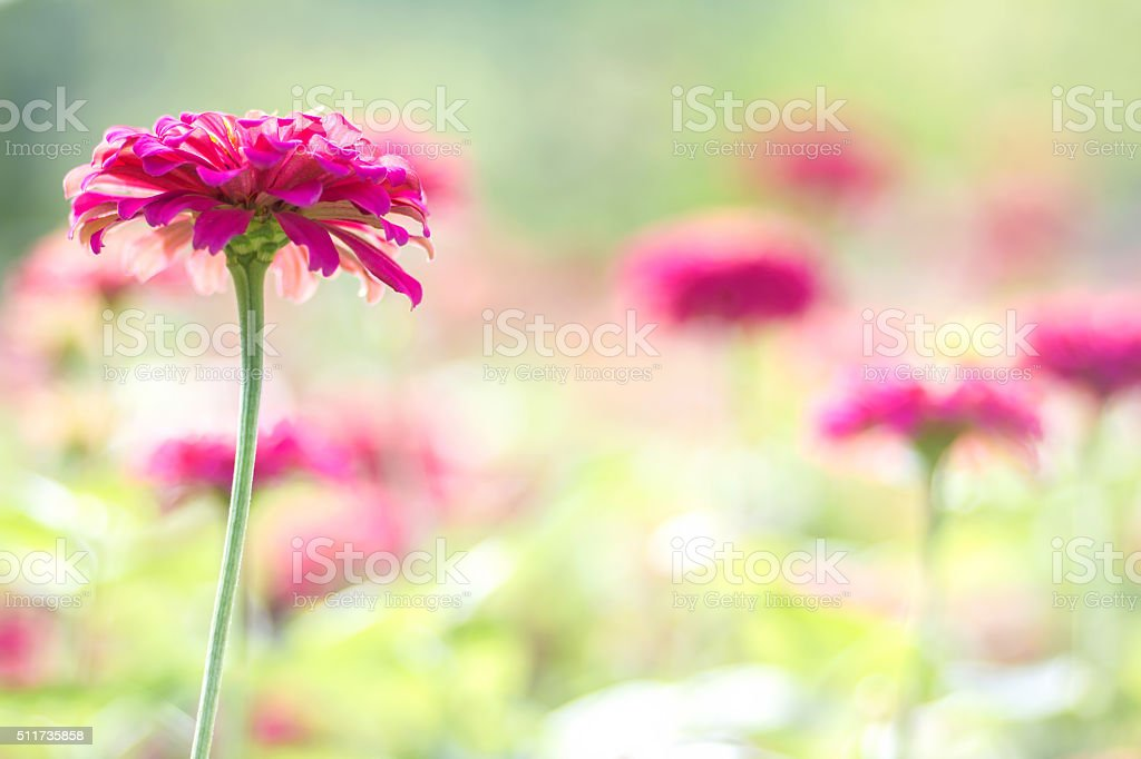 Pink daisy gerbera flowers with blurred background stock photo