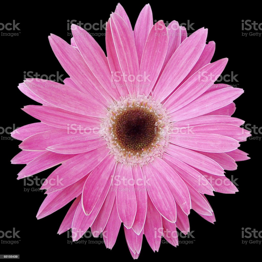 Pink daisy on black royalty-free stock photo