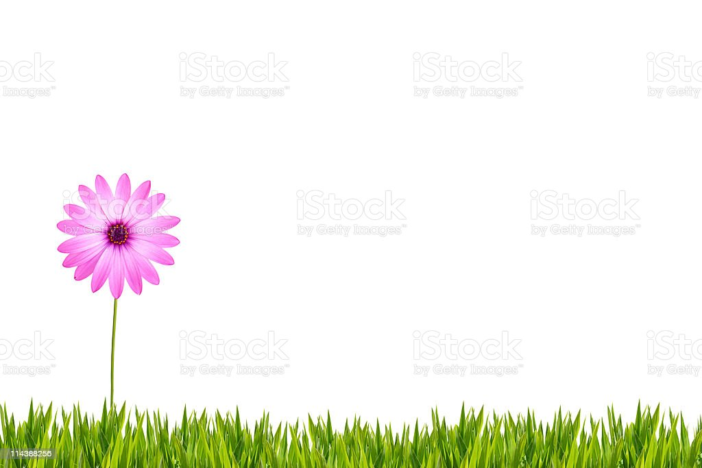 Pink daisy on grass XXXL royalty-free stock photo