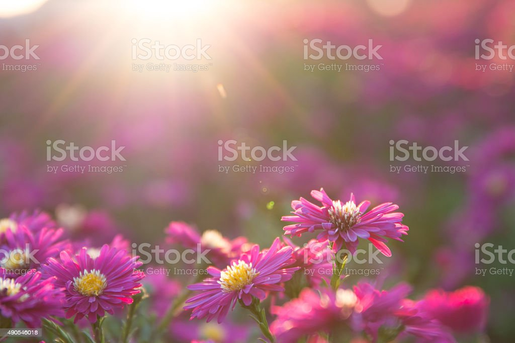 pink daisy stock photo