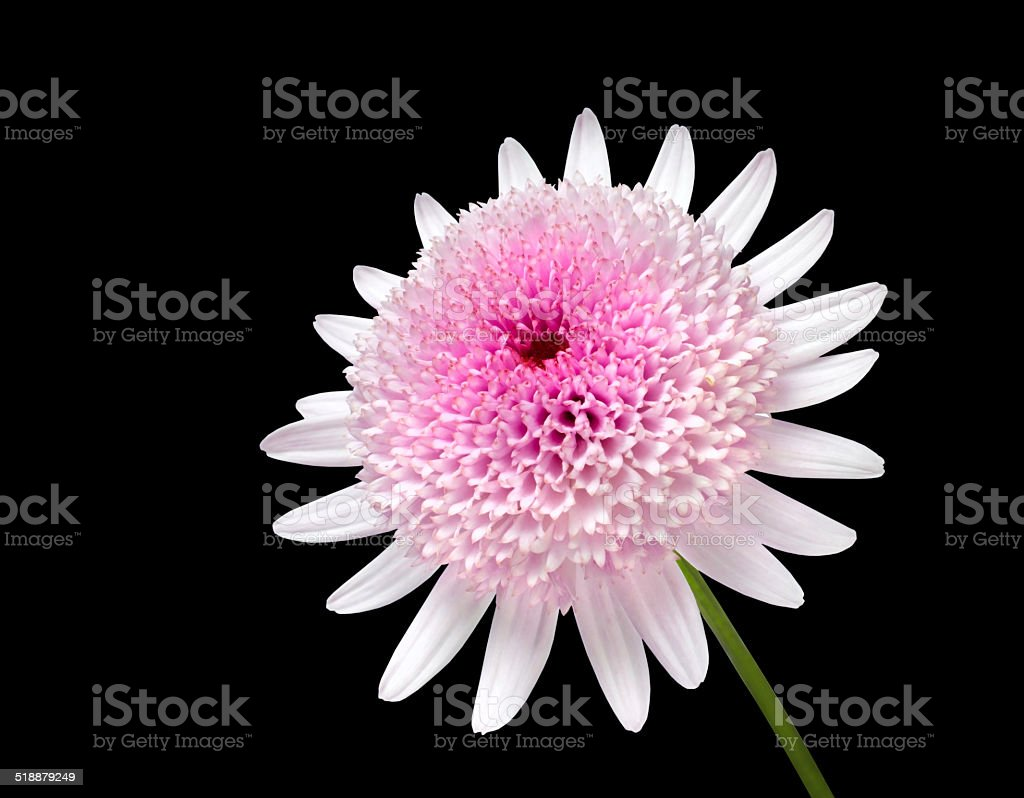 Pink Daisy With Large Center Flower Isolated On Black Stock Photo