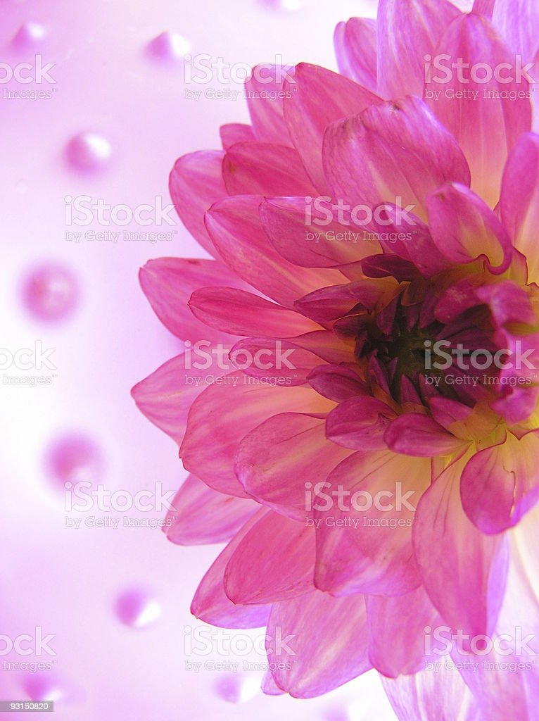 pink delight royalty-free stock photo