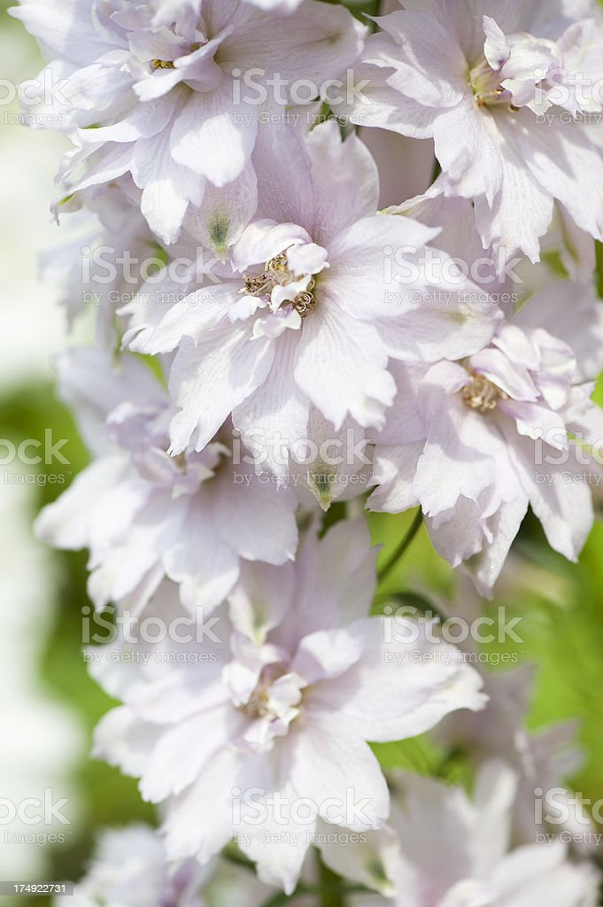 Pink Delphiniums royalty-free stock photo