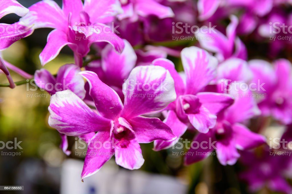 Pink Dendrobium orchid. stock photo