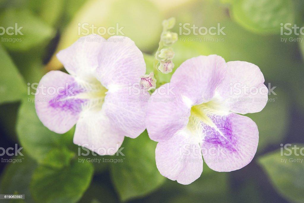 Pink Desert rose flower (Other names are desert rose, Mock stock photo