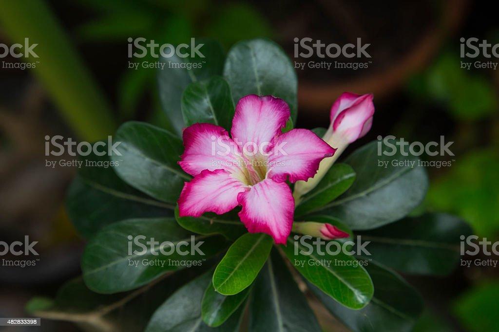 Pink desert rose stock photo