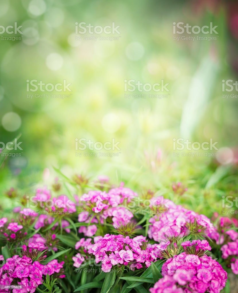 Pink dianthus flowers on blurred garden or park background stock photo