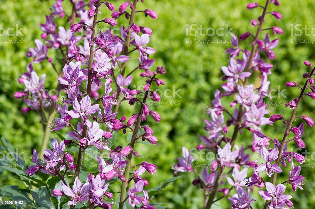 Pink Diptam (Dictamnus albus) in the garden stock photo
