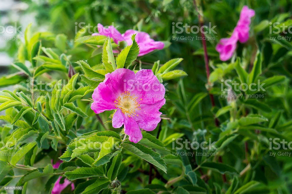 Pink dog rose flower in nature. foto de stock royalty-free