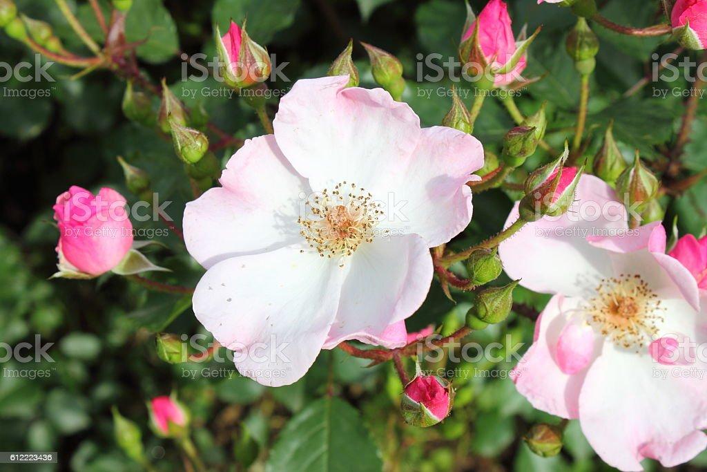 Pink dog rose flower stock photo