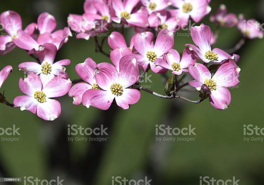 Pink Dogwood on Green Background stock photo