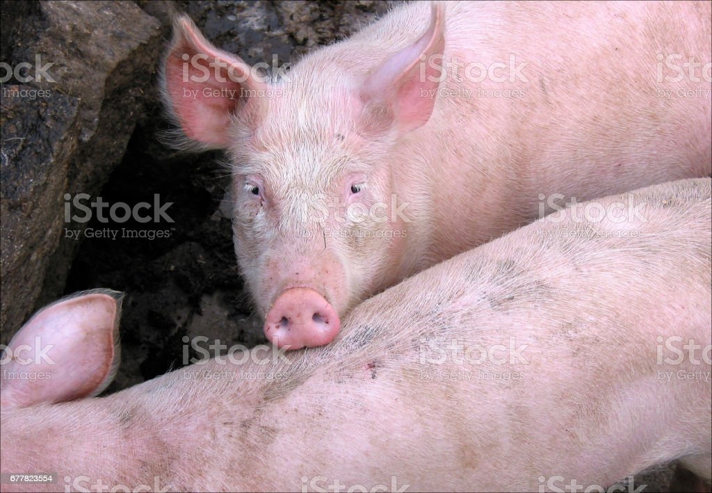 pink domestic  pig stock photo