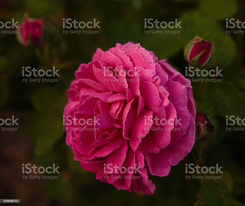 Pink Double Rose in Dew stock photo