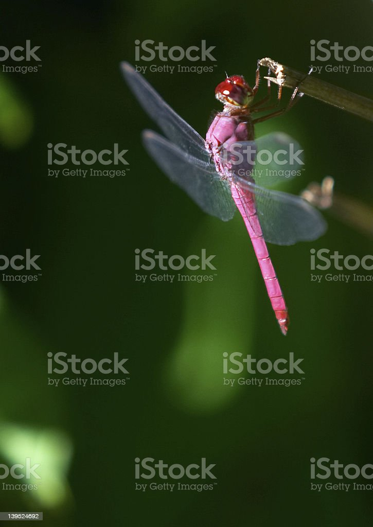 Pink dragon fly royalty-free stock photo