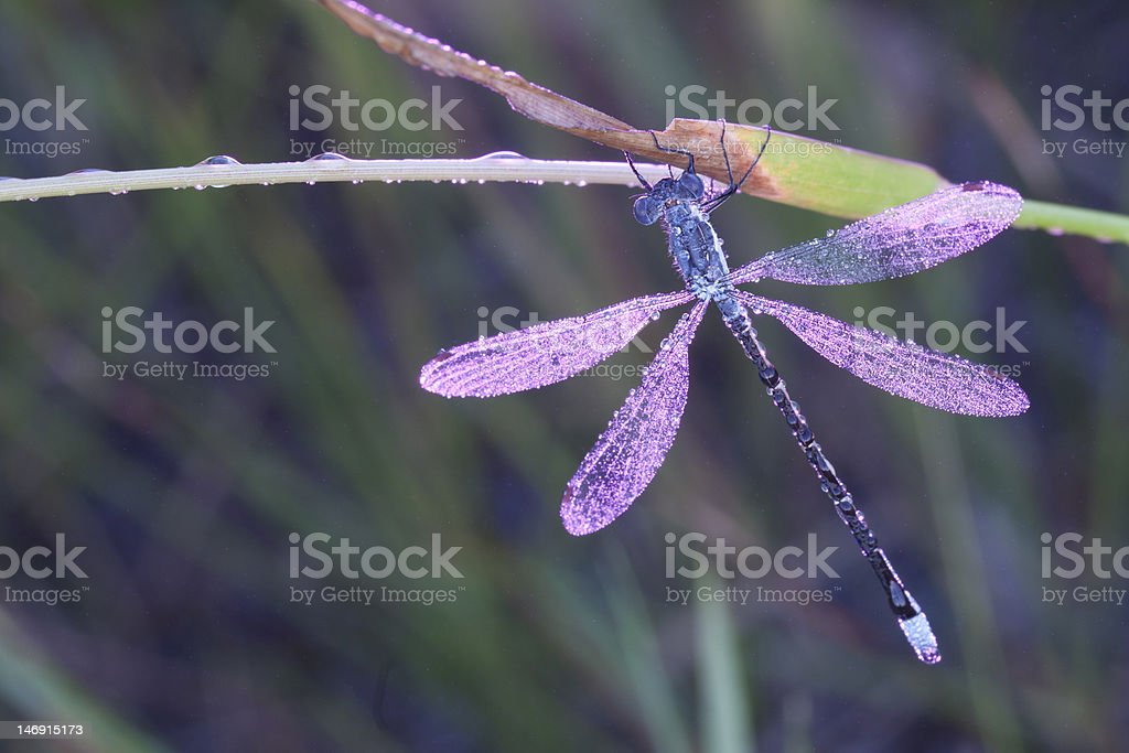 Pink Dragonfly stock photo