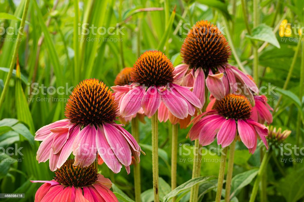 Pink Echinacea flowers in bloom stock photo
