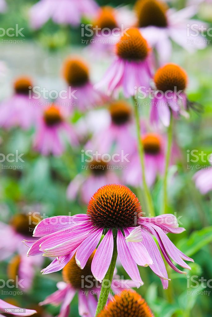 Pink Echinacea flowers - IV royalty-free stock photo