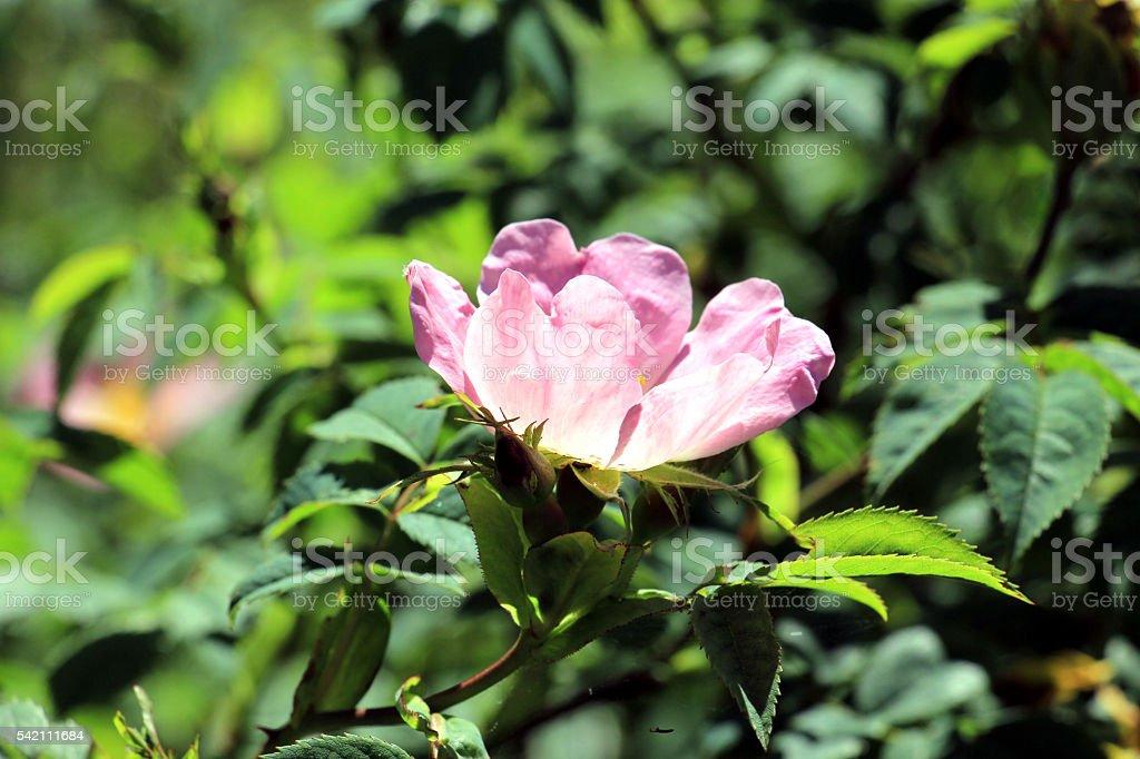 pink eglantine rose stock photo