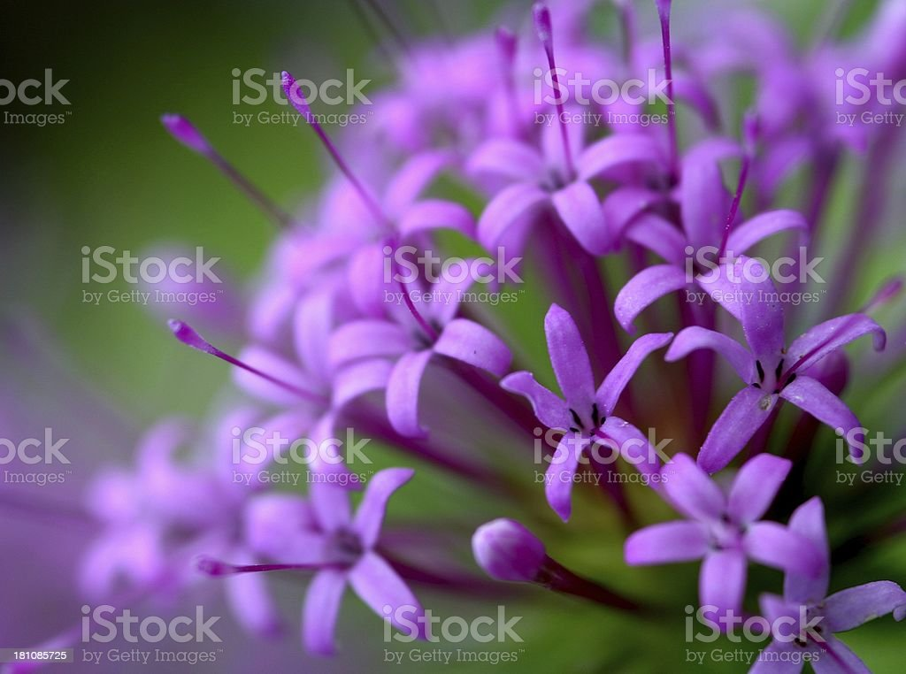 Pink explosion royalty-free stock photo