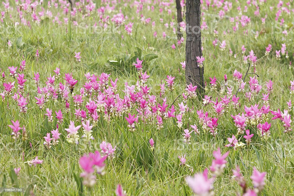 Pink field of Siam tulip royalty-free stock photo