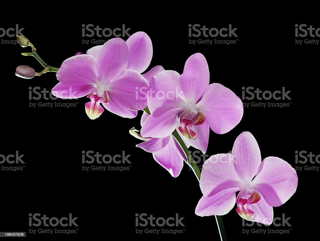 pink five flowers orchid branch on black royalty-free stock photo