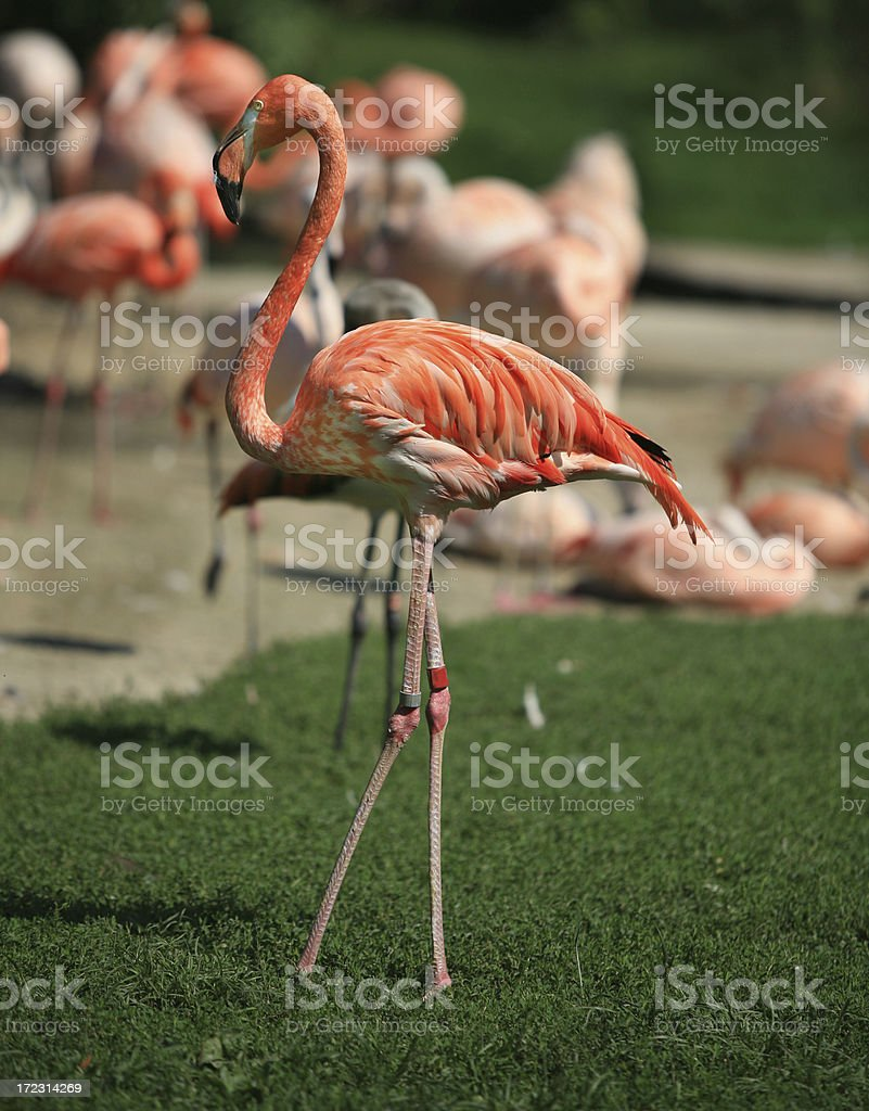 Pink Flamingo Bird Standing with Flock royalty-free stock photo