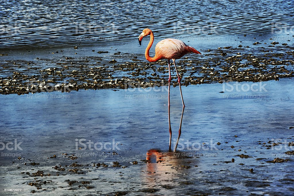 Pink Flamingo,   Floreana Island in the Galapagos stock photo