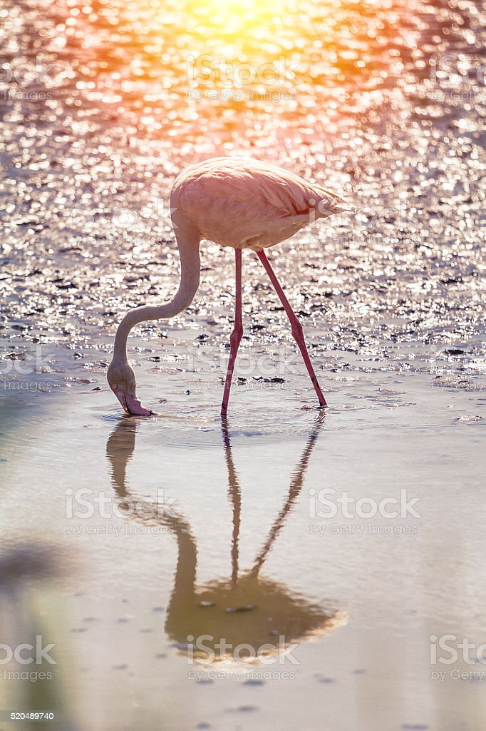Pink Flamingo in Camargue at sunset stock photo