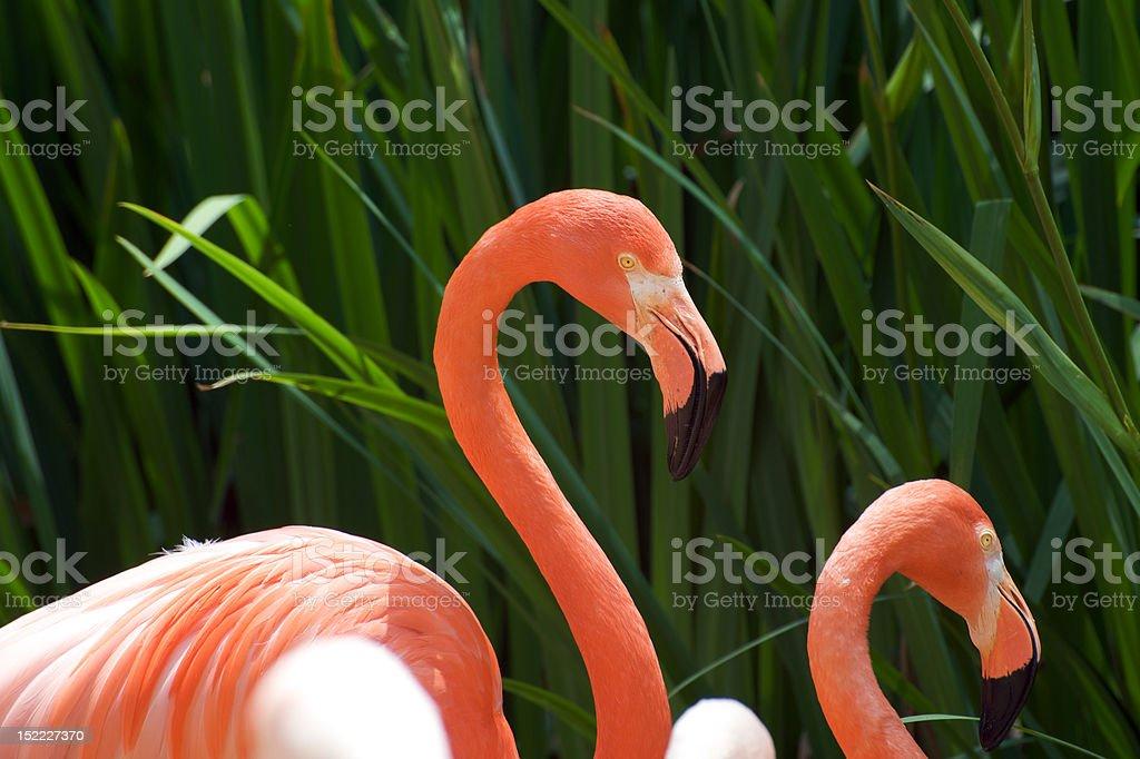 Pink flamingo royalty-free stock photo