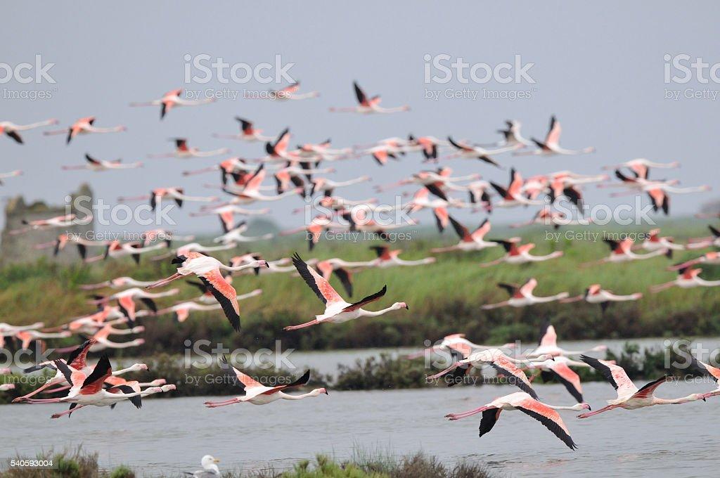 Pink flamingo (Phoenicopterus roseus) stock photo