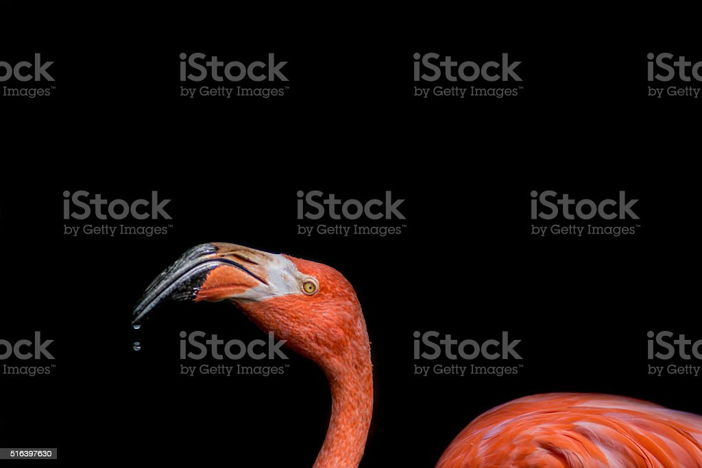 Pink Flamingo Water Dripping stock photo