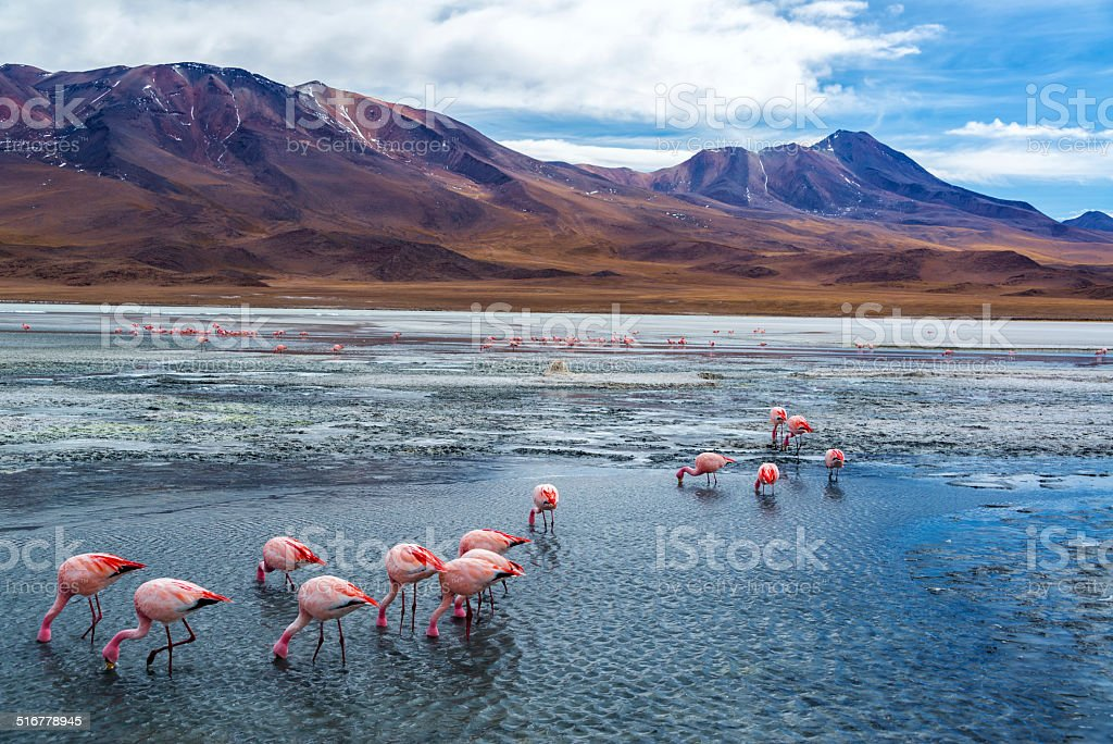 Pink Flamingoes in Bolivia stock photo