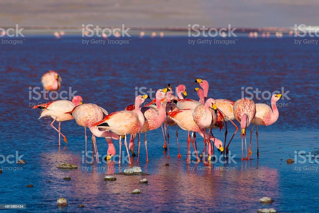Pink flamingos at 'Laguna Colorada' on the Bolivian Andes stock photo