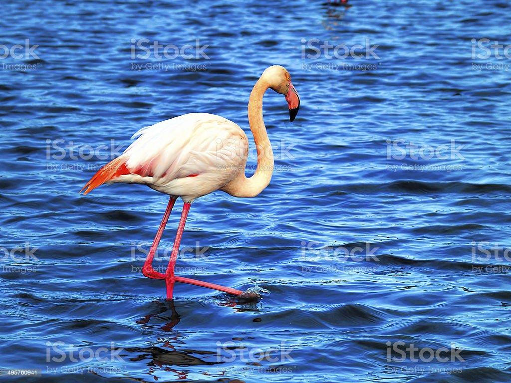 Pink flamingos Camargue National Park, France royalty-free stock photo