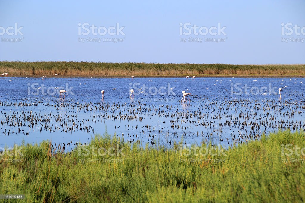 Pink flamingos in camargue, France. stock photo