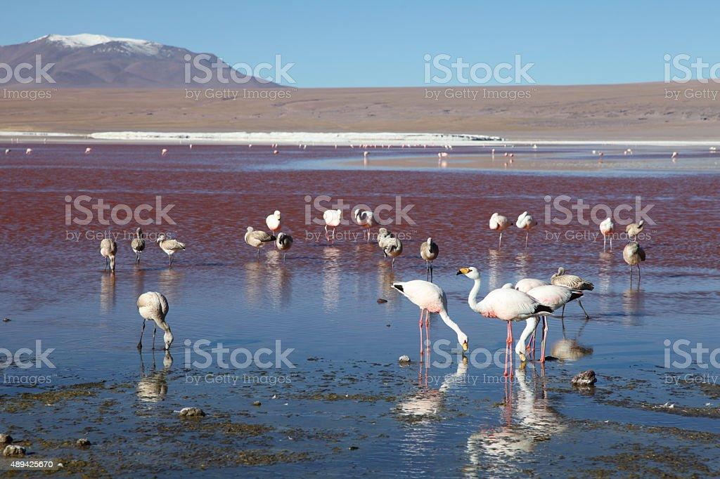 Pink flamingos in laguna Colorada stock photo