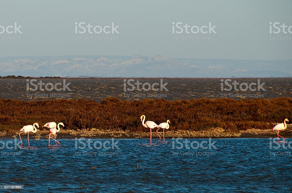 flamands roses en Camargue stock photo