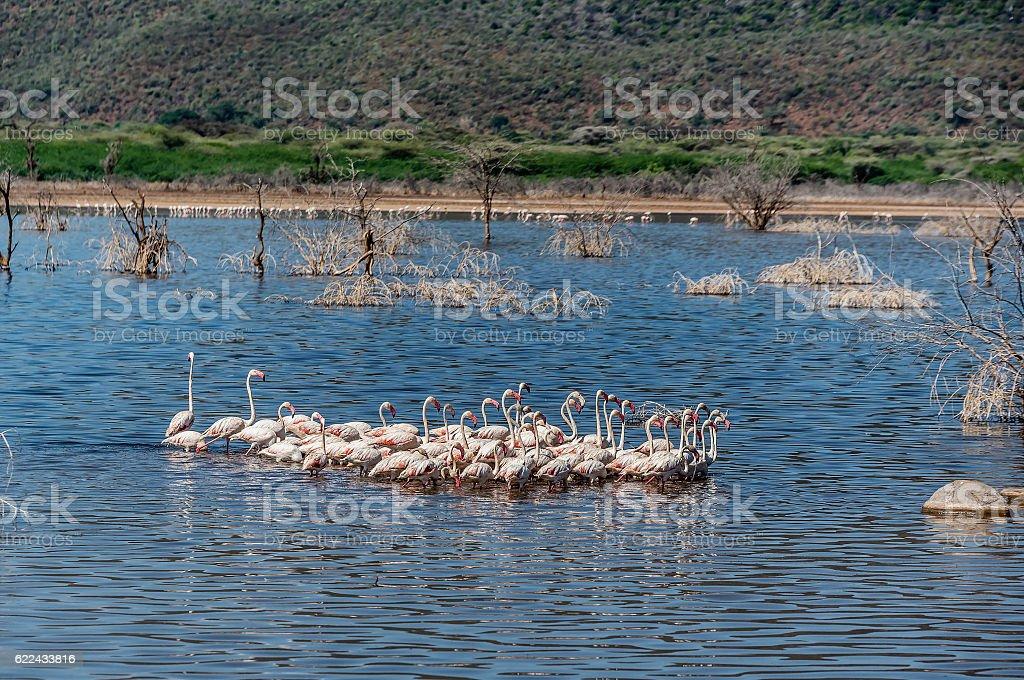 Pink  Flamingos on Lake Bogoria, Kenya stock photo