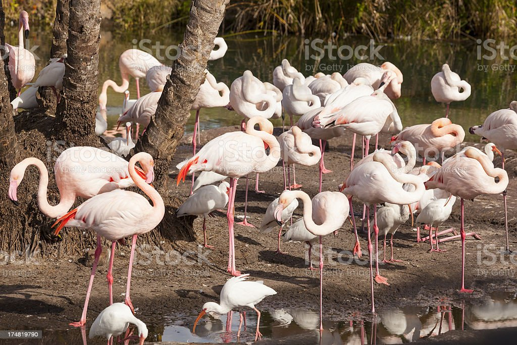 Pink Flamingos royalty-free stock photo