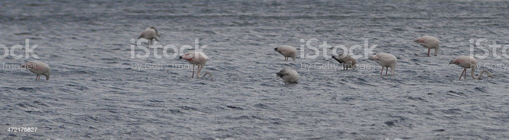 Flamands roses stock photo
