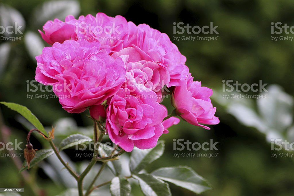 Pink floribunda bush roses, flower cluster, blurred garden background leaves royalty-free stock photo