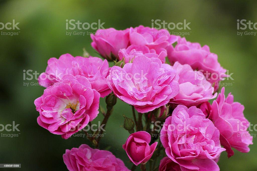Pink floribunda bush roses, flower cluster, blurred garden background leaves royalty-free stock photo