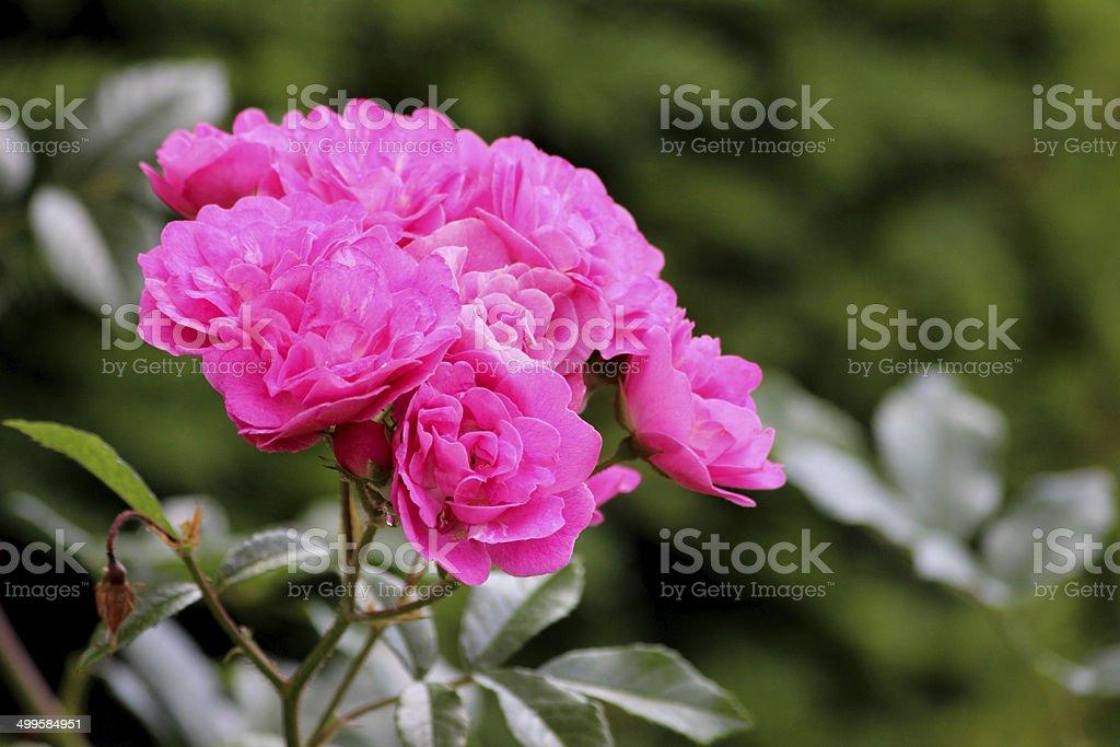 Pink floribunda bush roses, flower cluster, blurred garden background leaves stock photo