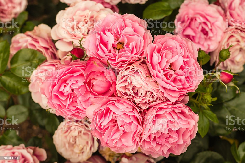 pink floribunda roses in bloom stock photo