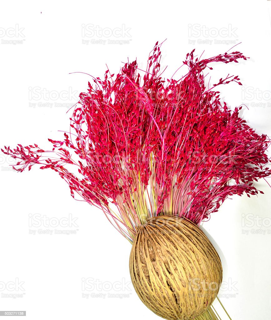 Pink flower and suicide tree seed on white background stock photo
